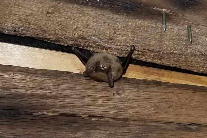 bats in attic cincinnati