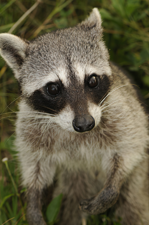 how to get raccoons out of attic
