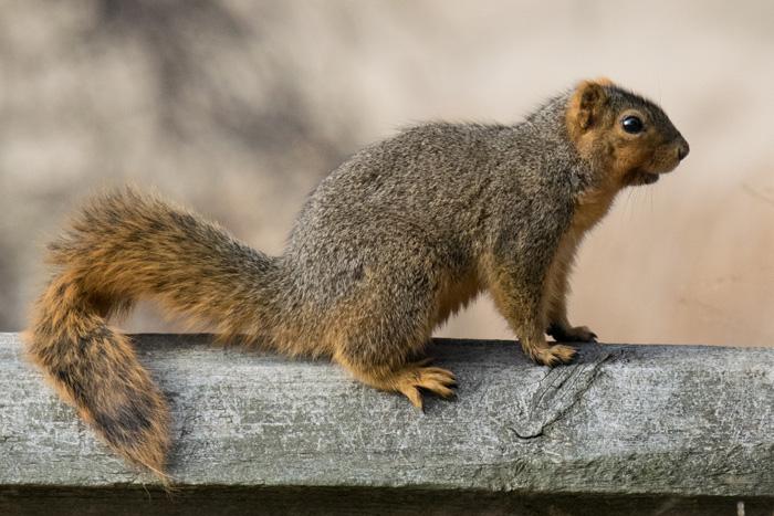 squirrel removal cincinnati