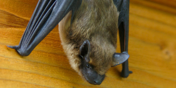 cincinnati wildlife removal provides top quality bat exclusion services