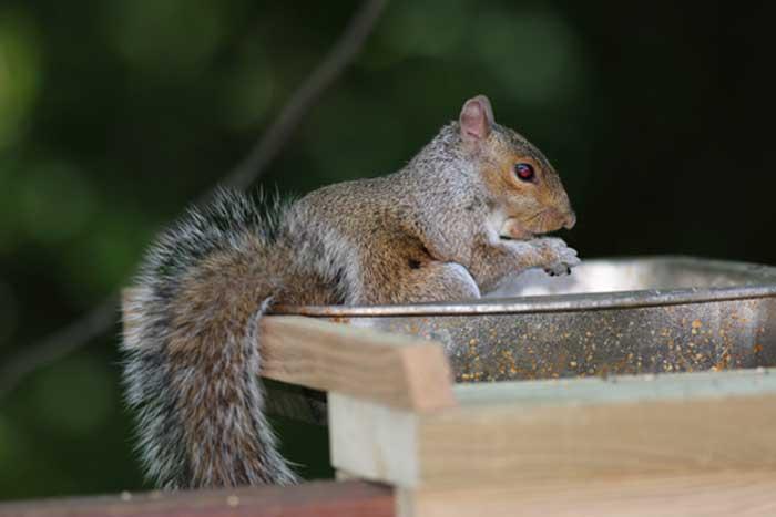 Photo: Eastern Gray Squirrel at Cincinnati Wildlife Removal