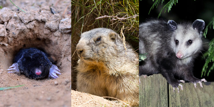 cincinnati wildlife removal are mole, groundhog and opposum trappers