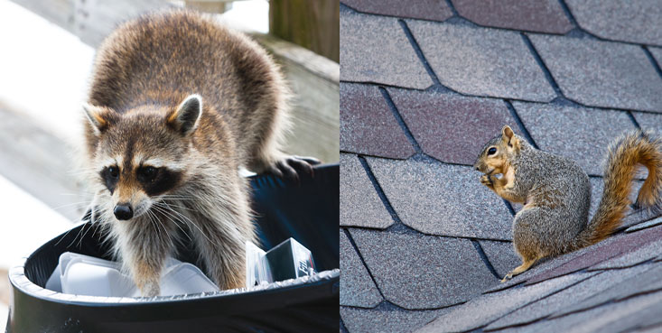 Raccoons and squirrels are no match for cincinnati wildlife removal