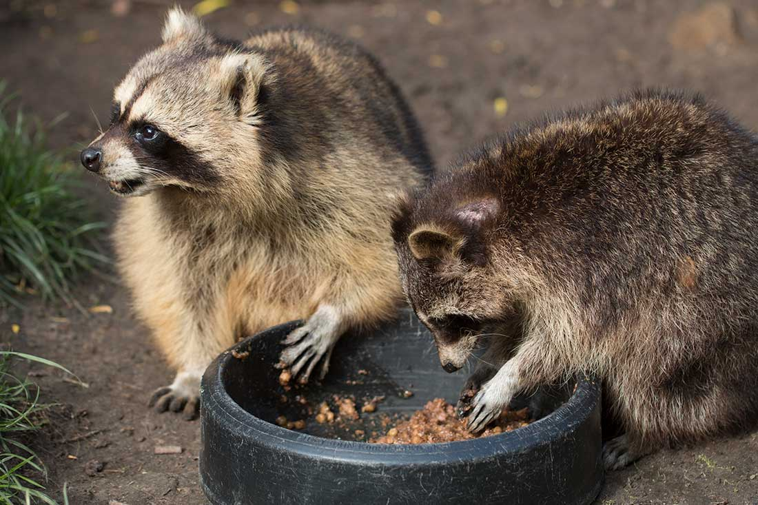 raccoon droppings removal