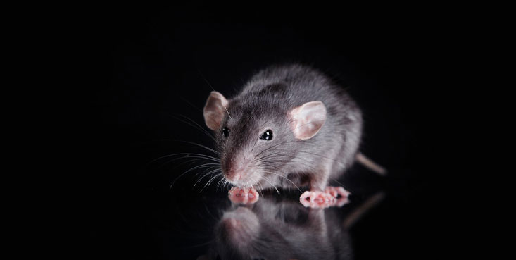 cincinnati wildlife removal are rat, mice and rodent specialists