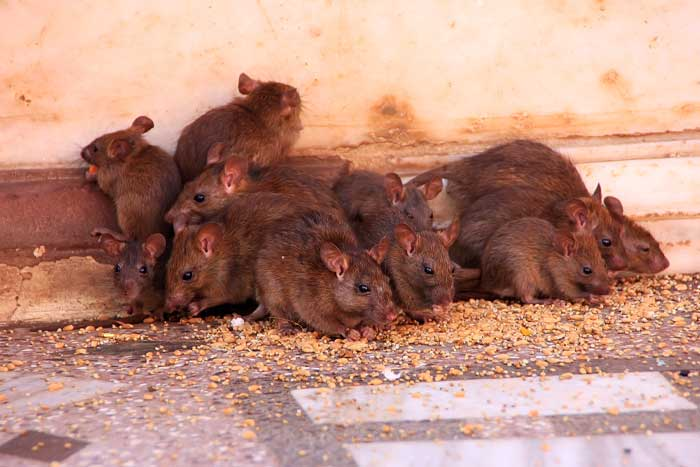 rodent control near me