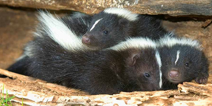 Got skunks stinking up your property then call cincinnati wildlife removal