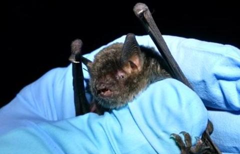 Gray Bat at Cincinnati Bat Removal
