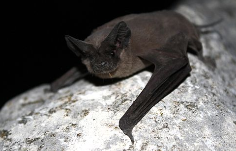 Mexican Free Tailed Bat at Cincinnati Bat Removal.