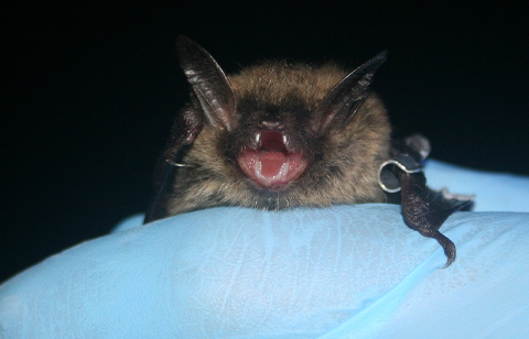 Northern Long Eared Bat at Cincinnati Bat Removal.