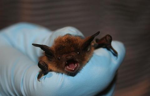 Little Brown Bat at Cincinnati Bat Removal